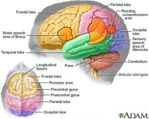 Brain_Area_Functions